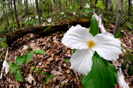 trillium: White Trilliums growing on the forest floor.  Trillium grandiflorum is the official emblem of the Province of Ontario and the State Wildflower of Ohio.   Stock Photo