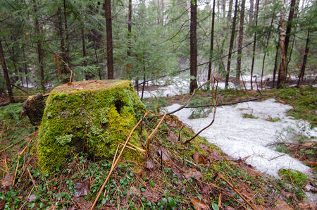 Spring thaw on a misty morning in a mixed temperate woodland forest setting.  photo