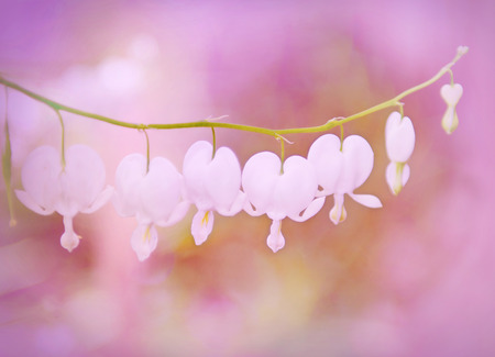 diffused: White Bleeding Hearts with a Valentine motif.  Softly filtered with rosy tone and diffused.