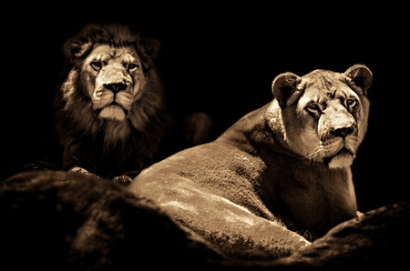Low key toned image of a male Lion and female Lioness Looking out towards the viewer from the Darkness.   스톡 콘텐츠