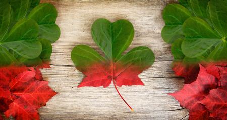 Irish-Canadian conceptual piece constructed out of real leaves depicting a  merging of Irish and Canadian insignia - the maple leaf and shamrock  photo