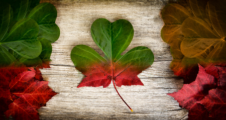 Irish-Canadian conceptual piece constructed out of real leaves depicting a blend of Irish and Canadian flag colours with maple leaf and shamrock insignia   photo