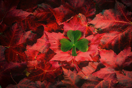 irish culture: An emblematic Irish Shamrock over top a bed of Canadian Maple leaves   A concept piece in tribute to the Irish immigrants and their role in founding Canada as a nation   Stock Photo