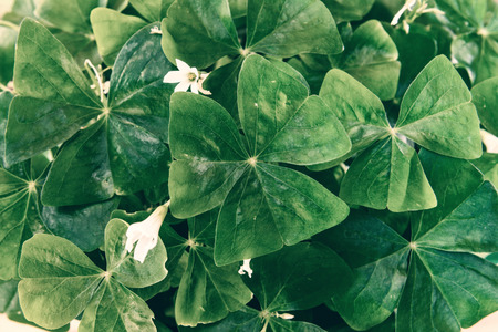false shamrock: Close up of Green Oxalis Shamrock.  Processed for a retro faded look.  Stock Photo