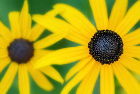 Seelctive focus shallow depth of field close-up of Black Eyed Susans    photo