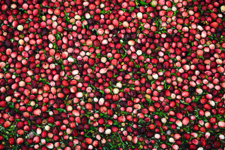 Background Image of fresh cranberries and cranberry leaves floating in a marsh waiting to be collected  photo
