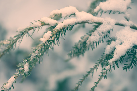 hemlock: A Hemlock branch covered in a fresh dusting of snow.  Processed for an aged vintage retro look.