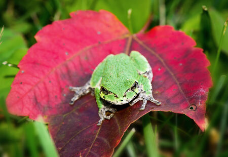 Front view of a Gray Tree frog showing a bright green coloration sitting on a red maple leaf.  Selective focus is on the eyes and face.