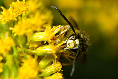 faced: An extreme closeup of a bald-faced hornet feeding from small yellow flowers  Stock Photo
