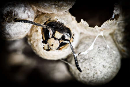 faced: A close up of a bald-faced hornet emerging from a cell in the nest