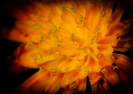 hawkweed: An extreme close up of a hawkweed flower with a shallow depth of field