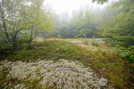 A rocky area covered in lichen and moss in a clearing of a forest on a foggy day  photo