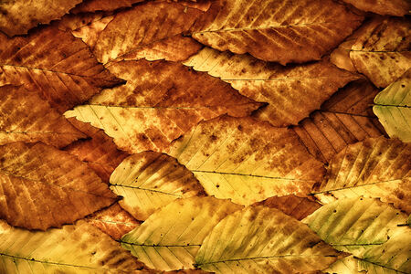 A background made entirely of golden brown autumn colored American Beech leaves