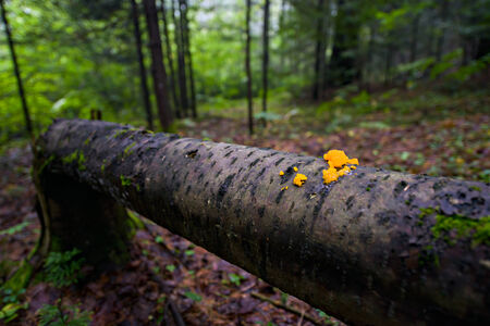 Orange jelly fungi on a fallen tree in a forest   Shallow depth of field  免版税图像
