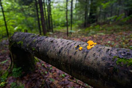Orange jelly fungi on a fallen tree in a forest   Shallow depth of field 免版税图像 - 28274886