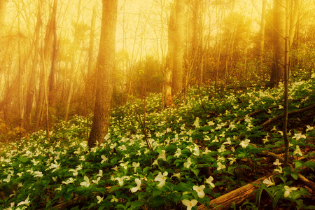 White Trilliums growing on a wooded Hillside on a misty morning  Trillium grandiflorum is the official emblem of the Province of Ontario and the State Wildflower of Ohio  photo