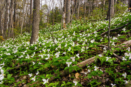White Trilliums growing on a wooded Hillside  Trillium grandiflorum is the official emblem of the Province of Ontario and the State Wildflower of Ohio