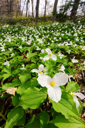 muskoka: A sweeping vertical wide angle photograph with a close up of a White Trillium in the foreground amidst a bed of hundreds of trilliums   Trillium grandiflorum is the official emblem of the Province of Ontario and the State Wildflower of Ohio