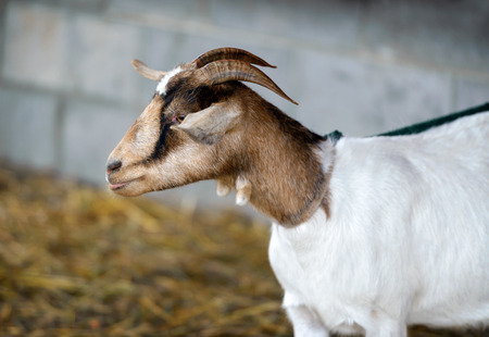 caruncle: A close up side view of a goat on a leash.