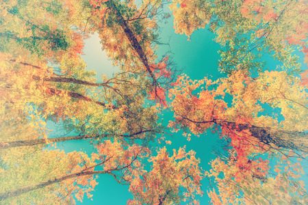 A low angle view of colorful autumn leaves on trees in a forest.  Filtered to give retro, faded look  photo