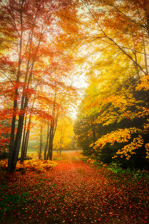 Autumn leaves on trees and on the ground on a misty day in the woods