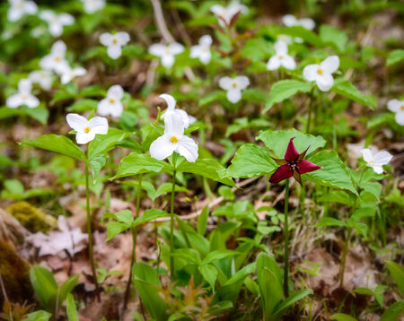 trillium: Single Red Trillium erectum growing  amongst White Trilliums   Trillium grandiflorum is the official emblem of the Province of Ontario and the State Wildflower of Ohio