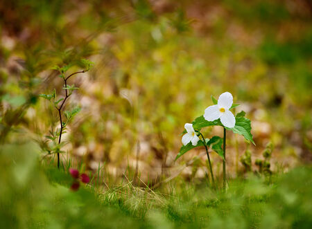 erectum: Selective focus on two White Trilliums with a blurred background and foreground   Room for copy space  Trillium grandiflorum is the official emblem of the Province of Ontario and the State Wildflower of Ohio  Stock Photo