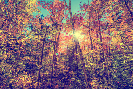 A low angle view of the bright sun shining through colorful autumn leaves on trees in a forest.  Filtered to give retro, faded look.  版權商用圖片
