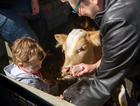 grand sons: A grandmother helps her grandson feed a calf and lamb at a farm