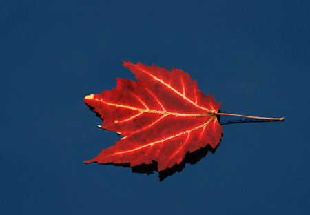 A close up of a red maple leaf floating on still blue water. photo