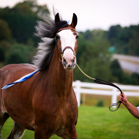 reins: A close up of a horse in a harness at a fall fair outside in a field.  A hand holds the horses reins.