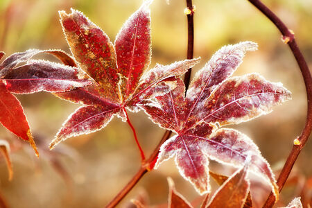 A close up of two Japanese maple leaves covered in frost.