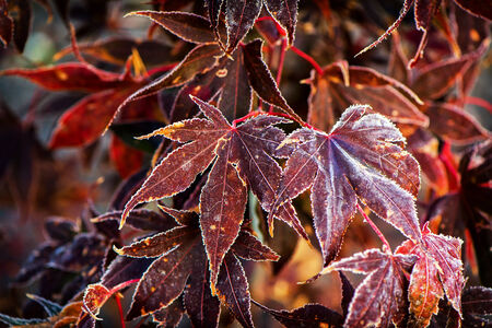 momiji: A close up of frosted Japanese maple leaves.