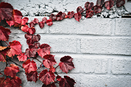 A gray brick wall with a partial border of grape vines and autumn red leaves.  Room for copy space. photo