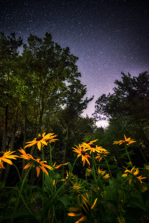 A low angle view of black eyed susan flowers under the twilight stars. photo