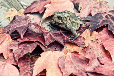 An American Toad sits on a pile of fall leaves.  Processed to give retro, faded, vintage look.