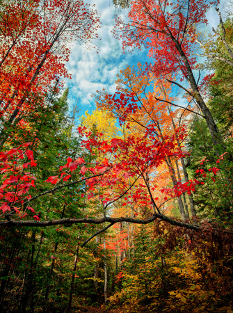 yellows: A low angle view looking up at colorful autumn trees in a forest.