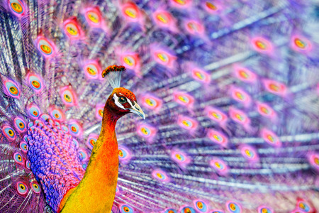 A close up of a pink fantasy like peacock displaying his tail feathers