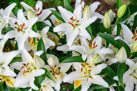 A close up shot of Easter lilies outside in a garden during the spring season.