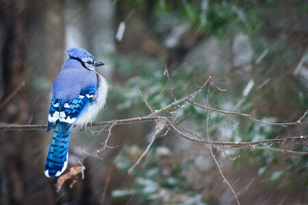muskoka: A puffed up blue jay sits on a branch of a tree in a forest during a snowy day in Ontario, Canada