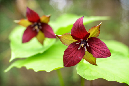 muskoka: A close up of two red Trilliums in a forest in Muskoka, Ontario Canada during the spring season.
