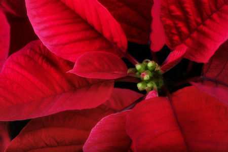 A close up of a poinsettia plant.  The plant is most commonly used for Christmas displays and themes. photo
