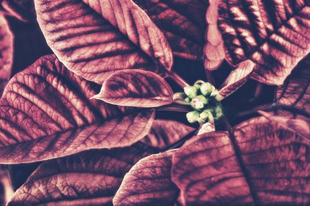 A close up of a poinsettia plant leaves and buds. The plant is most commonly used for Christmas displays and themes.  Filtered for a retro, vintage look. photo