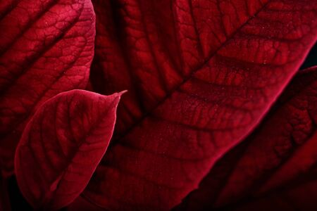 poinsettia: A close up macro of poinsettia plant leaves.  The plant is most commonly used for Christmas displays and themes.