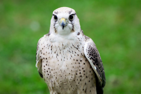 lanner: A close up of a lanner falcon perched at an outdoor show on birds of prey.