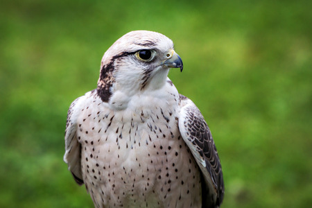 falco: A lanner falcon is perched at an outdoor show on birds of prey. Stock Photo