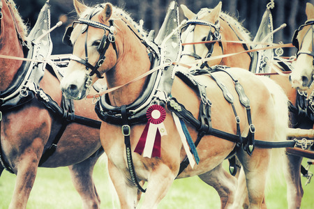 A close up of champion haflinger horses during a horse show at a fair.  Filtered to give a retro, vintage look.