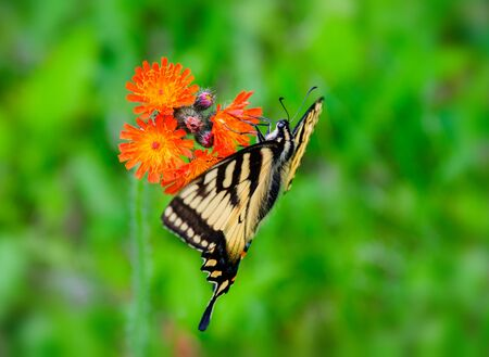 hawkweed: A close up side view of an eastern tiger swallowtail butterfly on an orange hawkweed flower.