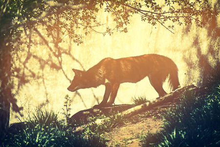 cuon: A close up profile of Asiatic wild dog hunting in a natural environment.  Filtered for a retro, faded look. Stock Photo