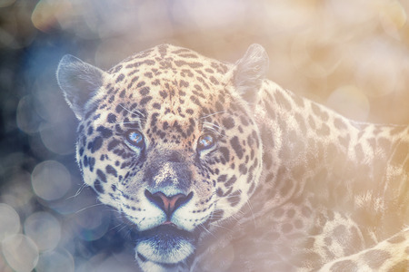 A close up portrait of a jaguar with a shallow depth of field creating a bokeh effect in the background.
